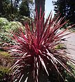 Cordyline-electricpink.jpg