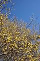Cornus mas (Cornelian-cherry) (32900474874).jpg
