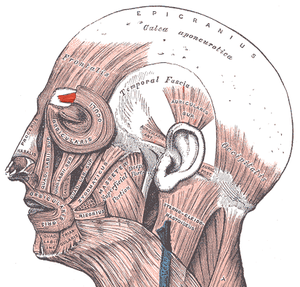 Facial electromyography - Corrugator supercilii muscle (associated with frowning)