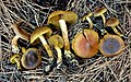 Cortinarius idahoensis Ammirati & A.H. Sm 207832.jpg