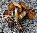 Cortinarius pseudorubricosus group 198469.jpg