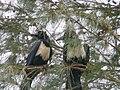 Corvus albus 0011.jpg