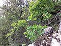 Cotinus coggygria sl3.jpg