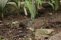 Coturnix chinensis (32907695614).jpg