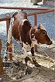 Cow-Nizwa.jpg