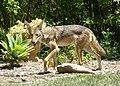 Coyote (28365690044).jpg
