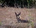 Coyote (51241388391).jpg