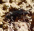 Crabronidae, Tachytes, Liris - Flickr - gailhampshire.jpg