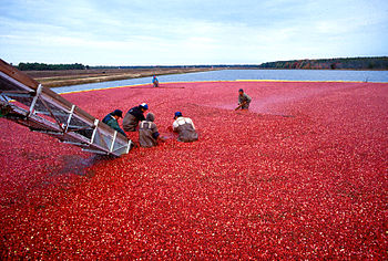 Cranberry harvest in New Jersey. Español: Cose...