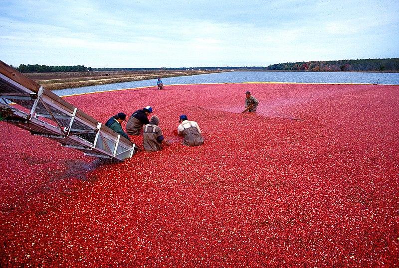 Fichier:Cranberrys beim Ernten.jpeg