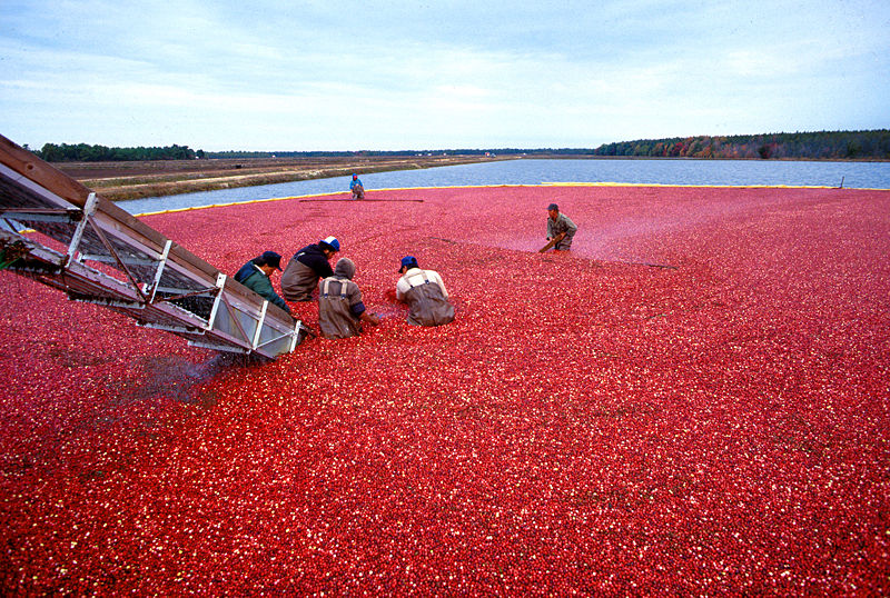 Cranberrys beim Ernten.jpeg