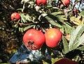 Crataegus orientalis fruit a PG.jpg