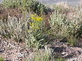 Crepis acuminata (3753461497).jpg