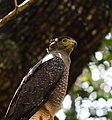 Crested serpent eagle, Wipattu National Park, SriLanka.jpg