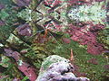 Crevette cardinal aquarium porte dorée Paris.JPG