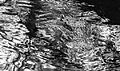 Crocodylus acutus black and white 2.jpg
