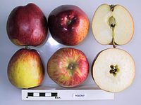 Cross section of Regent, National Fruit Collection (acc. 1974-067).jpg