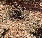 Croton californicus 1.jpg