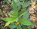Croton persimilis 01.JPG