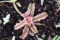 Cryptanthus bivittatus Pink Starlite 2zz.jpg