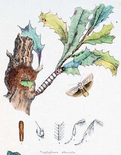<i>Cryptophasa</i> Moth genus in family Xyloryctidae