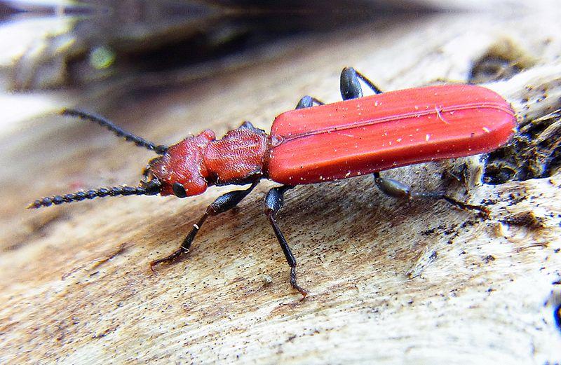 Fil:Cucujus cinnaberinus side.jpg