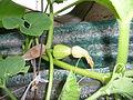 """Cucurbita maxima """"zapallo plomo"""" (Costanzi temp2) flor fruto F04 dia03 orientación vista lateral pétalos marchitándose.JPG"""