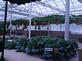 Cucurbita vines - hanging pumpkins.jpg