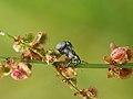 Curculionidae (14195414637).jpg