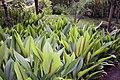 Curcuma zedoaria 8zz.jpg