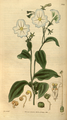 Curtis's Botanical Magazine, Plate 3069 (Volume 58, 1831).png