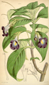 Curtis's Botanical Magazine, Plate 4327 (Volume 73, 1847).png