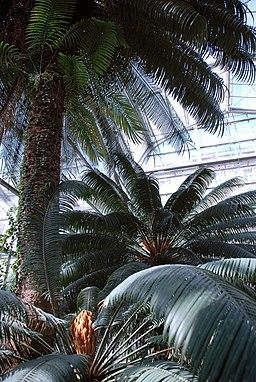 Cycas Circinalis - 200 Years Old in Prague - DSC 0068