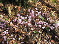 Cyclamen clump.jpg