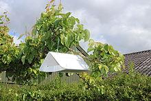 Cydia pomonella trap hanging in tree 2012-06.jpg