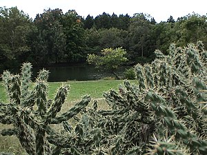 Lisle, Illinois - Opuntia imbricata (in the foreground) at the Morton Arboretum in Lisle