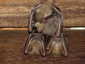Lesser short-nosed fruit bat - Image: Cynopterus brachyotis three