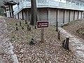 Cypress knees next to White Springs Bath site.JPG