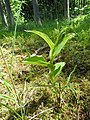 Cypripedium calceolus 112.jpg