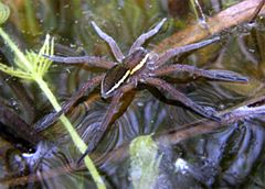 D.plantarius on water surface.jpg