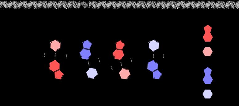 Een klein deel van een DNA-molecuul. De DNA-helix (bovenaan) bestaat uit twee ketens van desoxyribosefosfaat, waaraan vier soorten nucleobasen vastzitten. De nucleotiden van beide ketens vormen waterstofbruggen met elkaar.