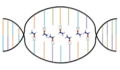DNA Denaturation by Formamide.png