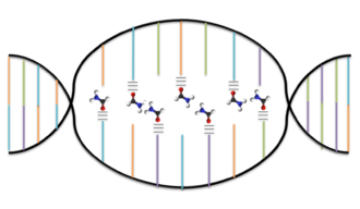 Denaturation (biochemistry) - Formamide denatures DNA by disrupting the hydrogen bonds between Watson and Crick base pairs. Orange, blue, green, and purple lines represent adenine, thymine, guanine, and cytosine respectively. The three short black lines between the bases and the formamide molecules represent newly formed hydrogen bonds.