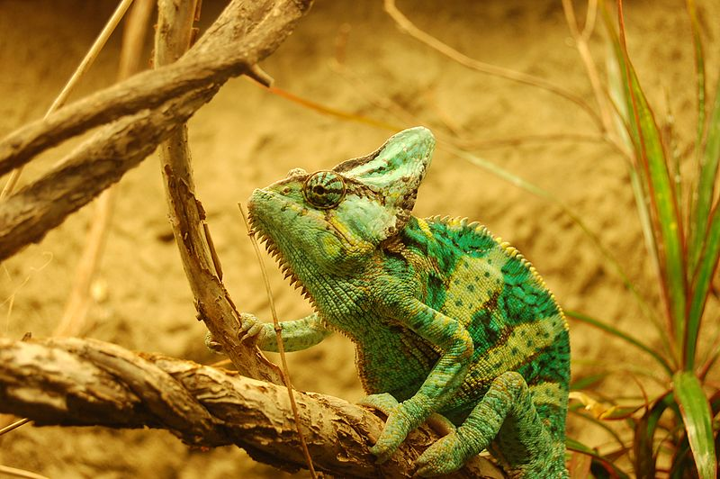 Chameleons As Pets 5 Things You Should Know Before Getting A Chameleon