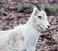 Dall Sheep (017a1fd9-dd1b-4e27-9874-a696fe81be16).jpg
