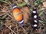 Danaid eggfly pair.jpg