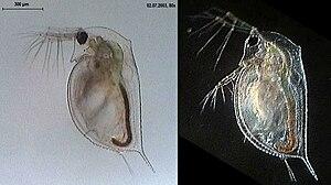 Przedstawiciel rodzaju Daphnia, pozostawiony w świetle przechodzącym, z prawej w świetle odbitym