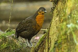 Dark-backed wood quail - In Mindo, Ecuador