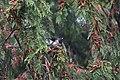 Dark-eyed Junco (Oregon) (44897625014).jpg