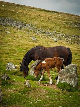Dartmoor ponies. (43613314294)